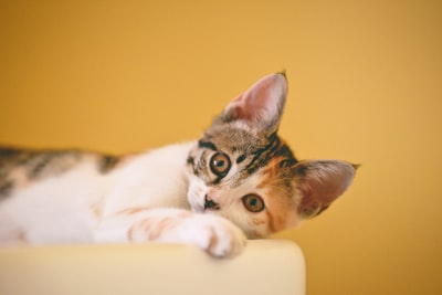 calico kitten lying on white textile cat zoom background
