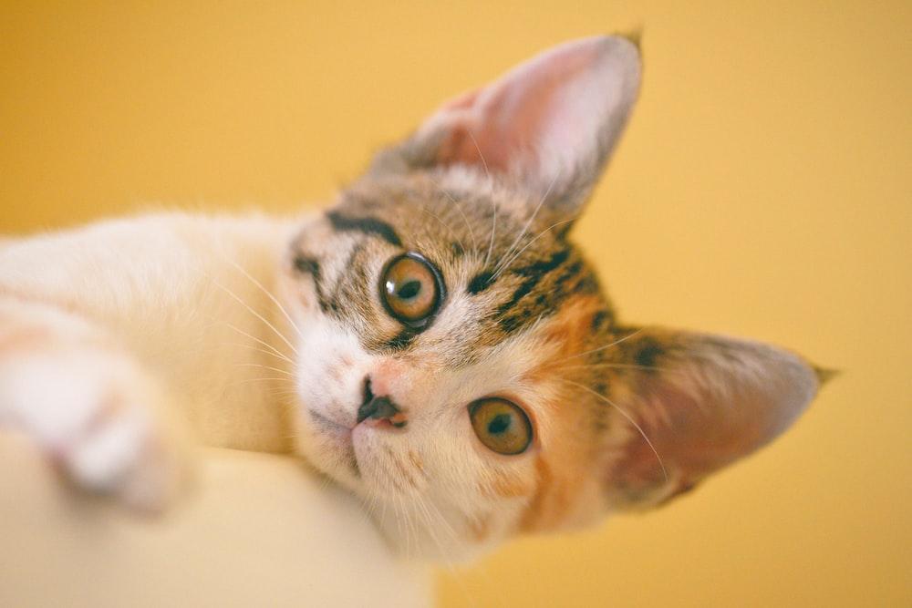 tricolor cat lying