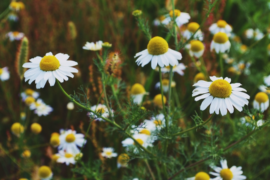 Chamomile | 63 Amazing Pest And Insect Repellent For Plants You Should Know