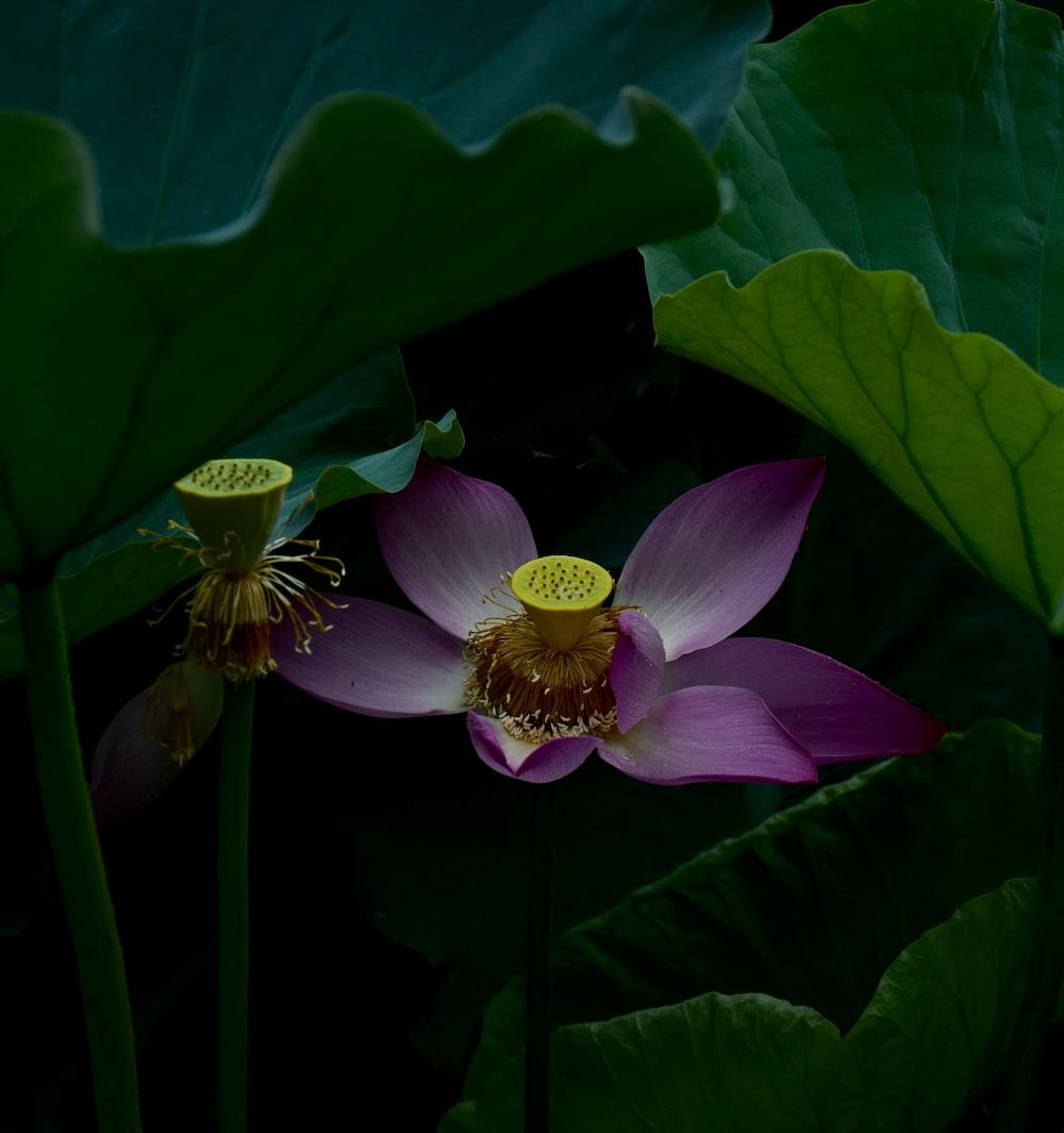 Lotus Photo By Tony Wan Tonywanli On Unsplash