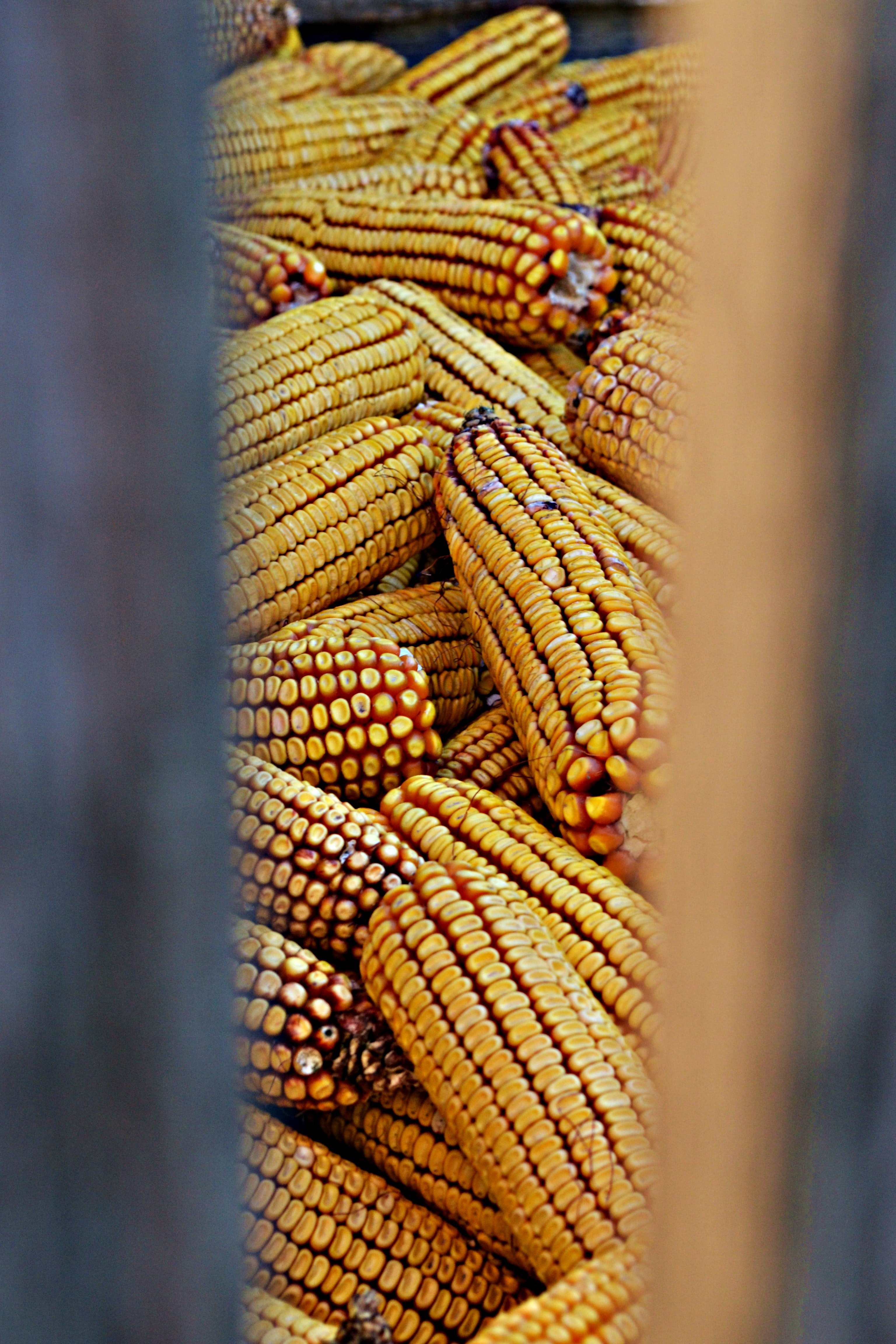 shallow focus photography of corn cobs