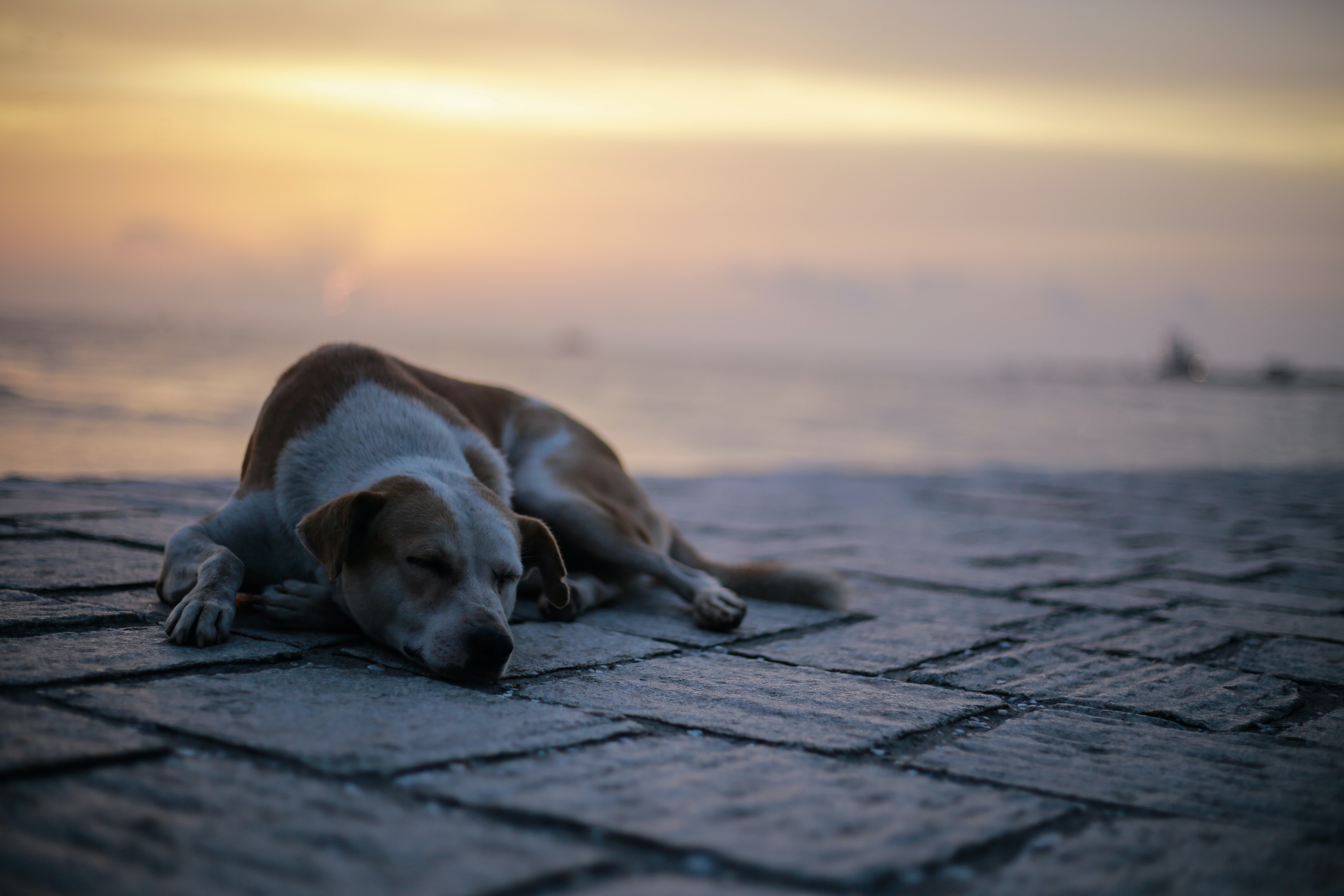 adult white and tank dog lying on ground near beach