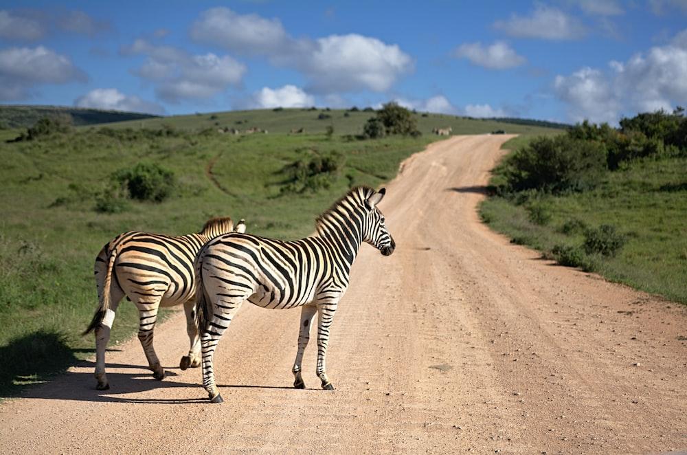 two zebras walking on brown path