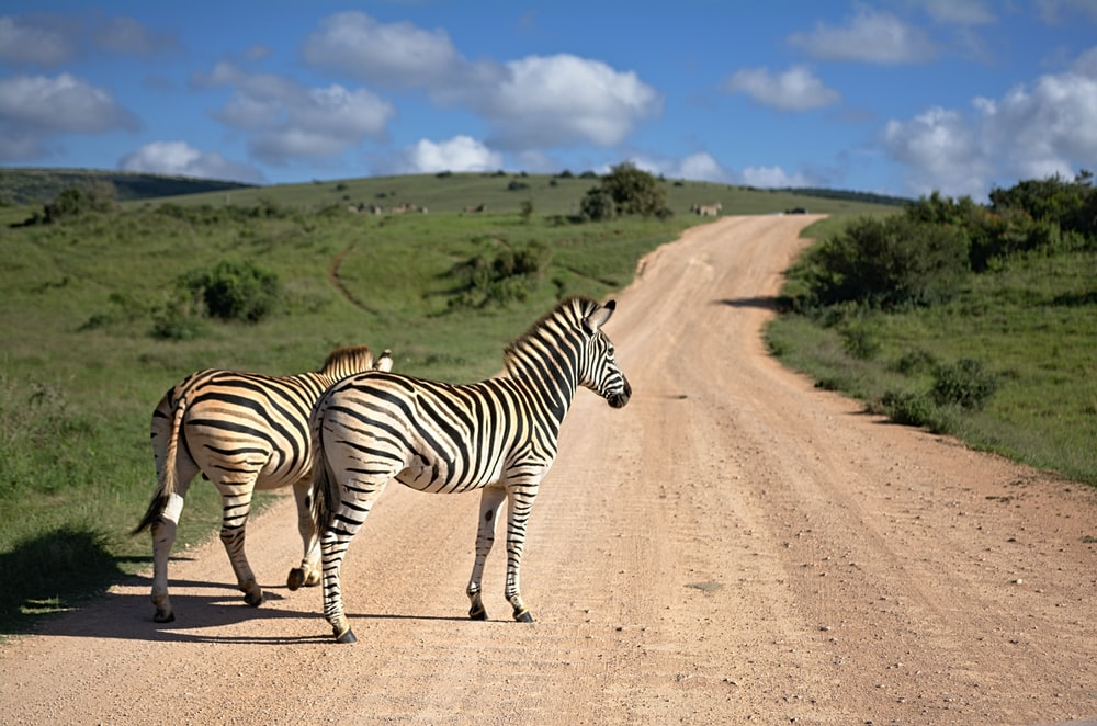 two zebras walking on brown path