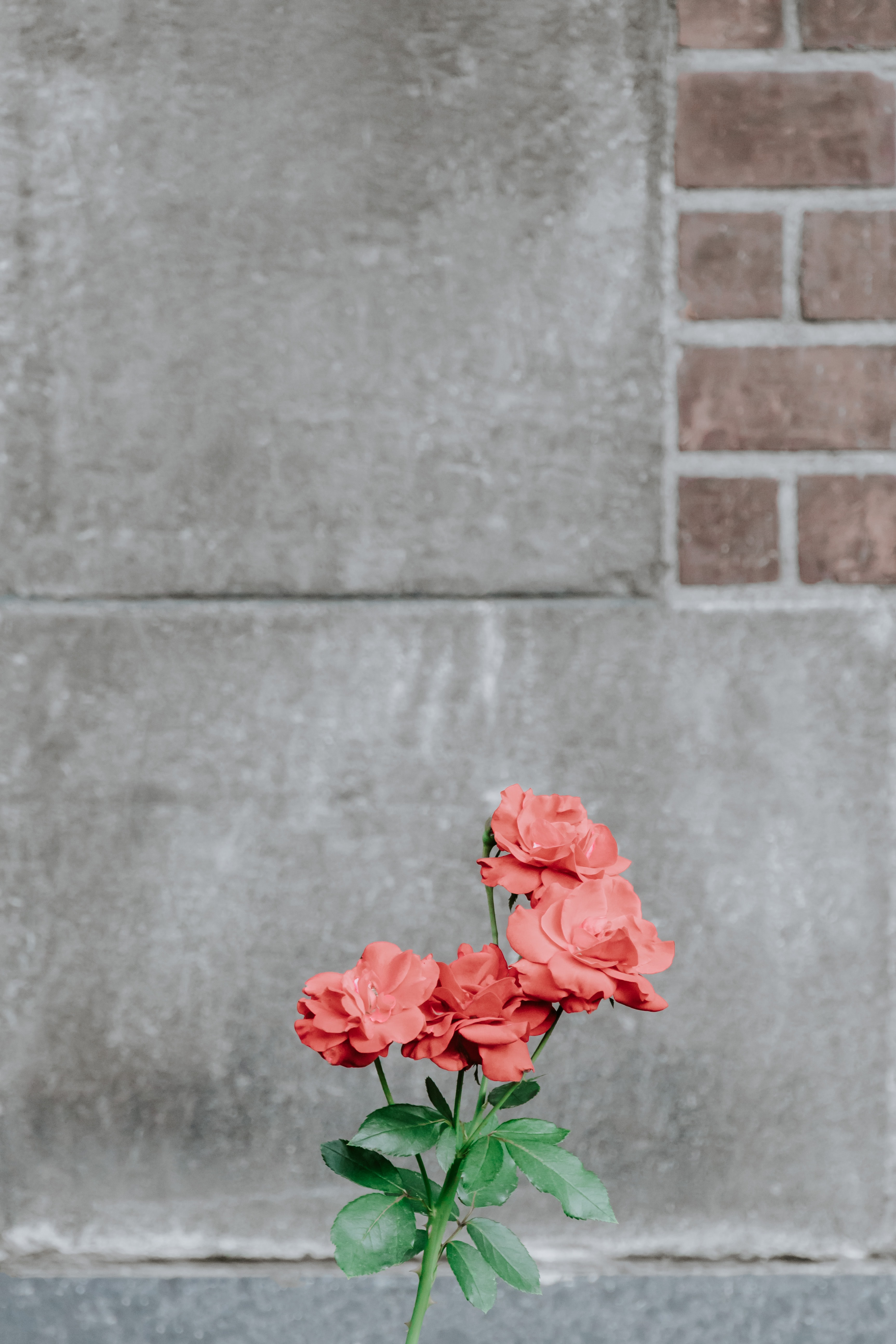 red rose flowers next to gray concrete surface during daytime