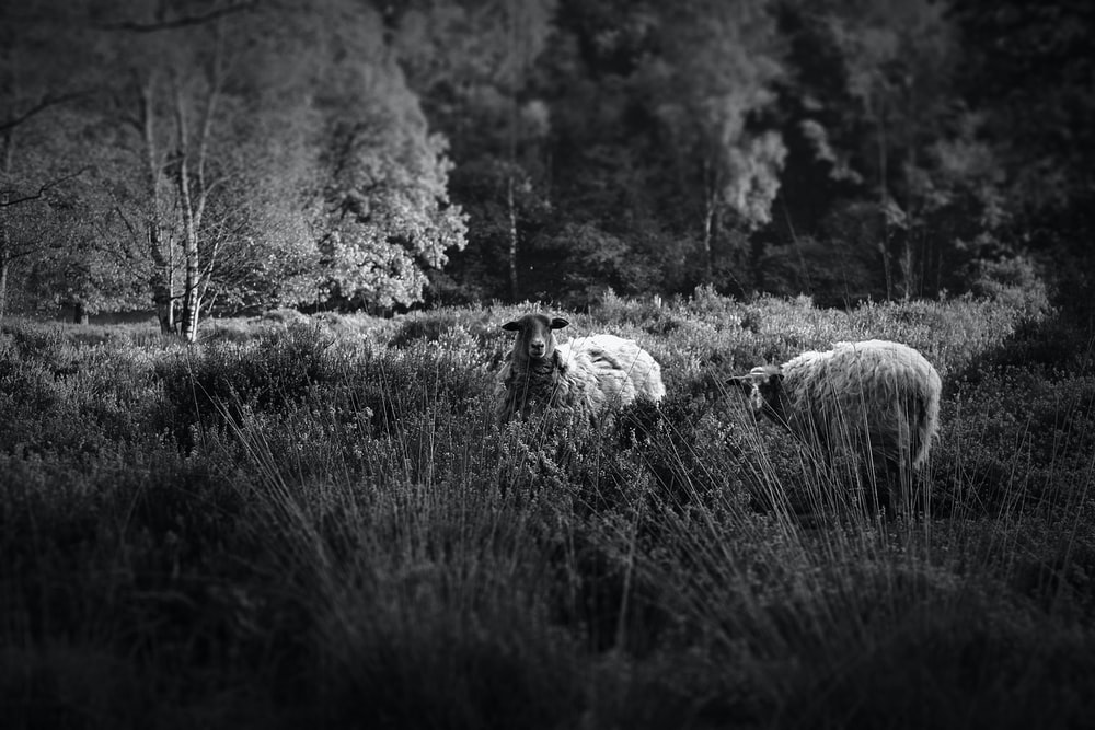 grayscale photography of two sheeps