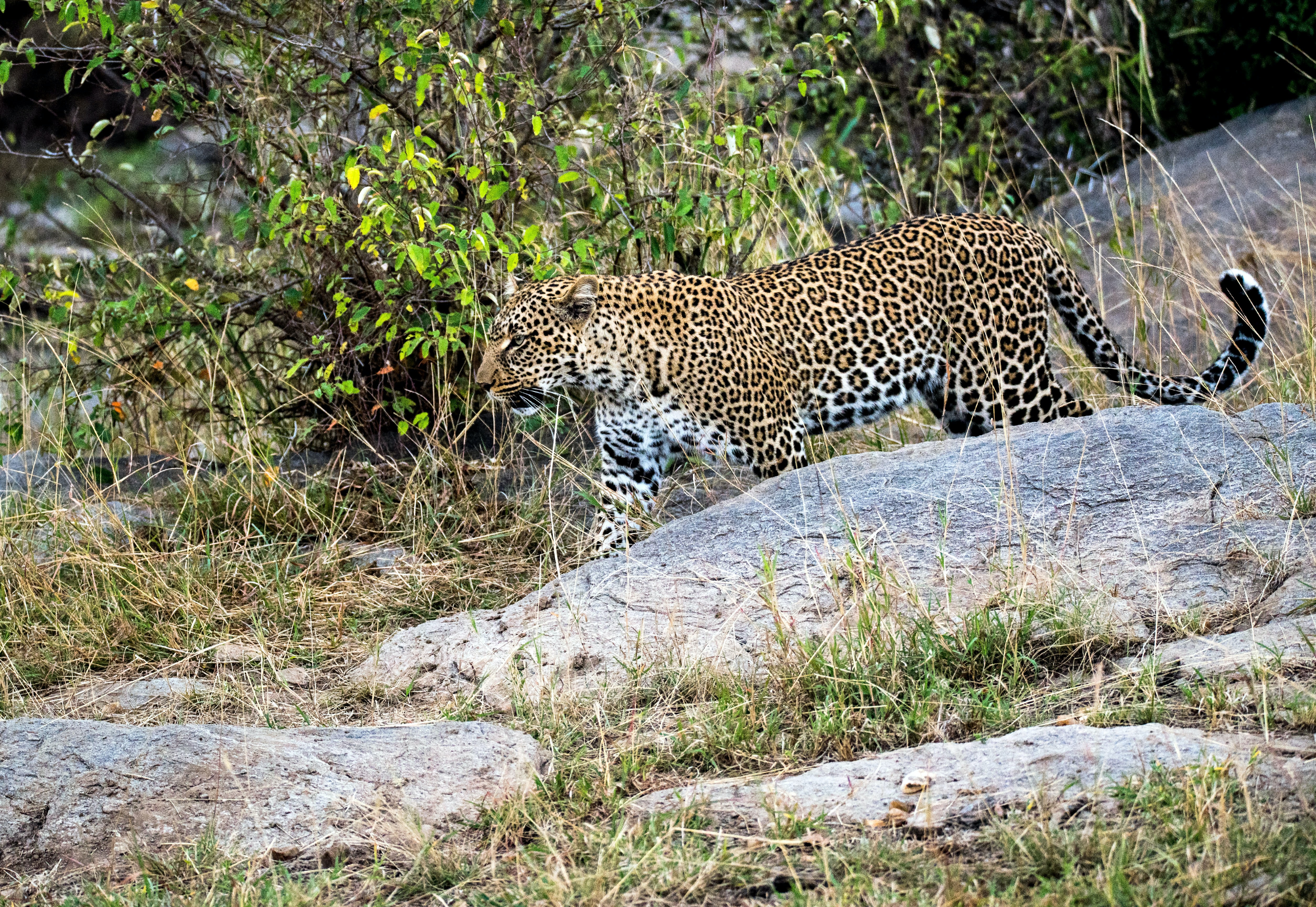 brown and black leopard walking on gray rock during daytime