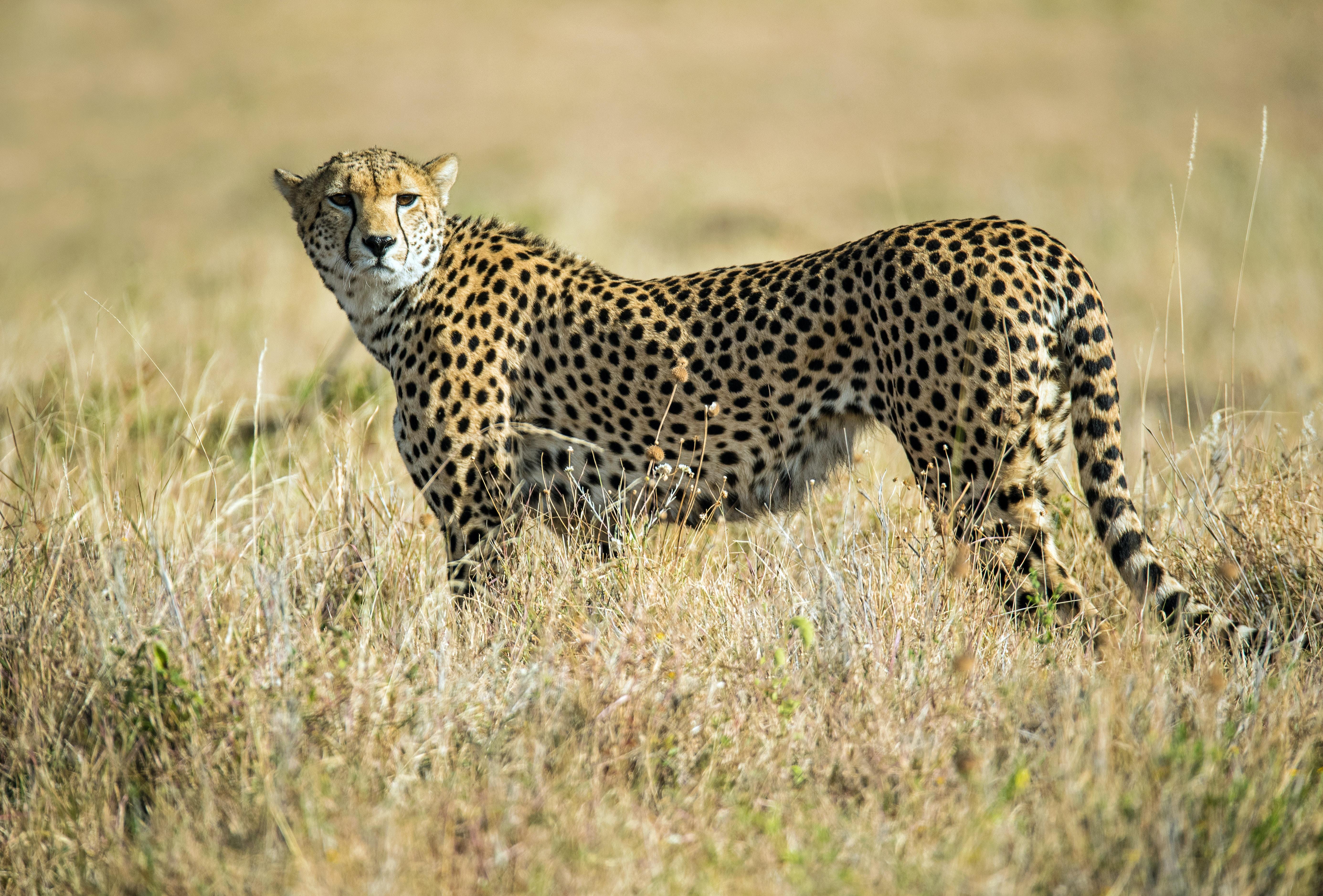wildlife photo of cheetah