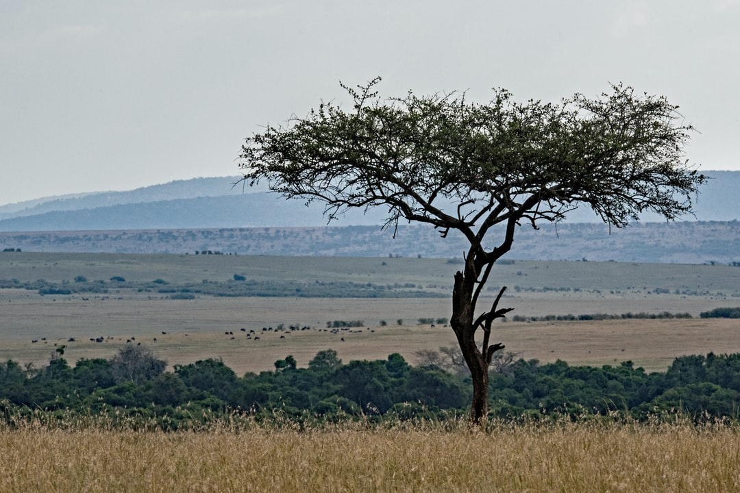 Masai Mara vista, with the endless plains, a Balanites aegyptica tree, and wildebeest in the distance.