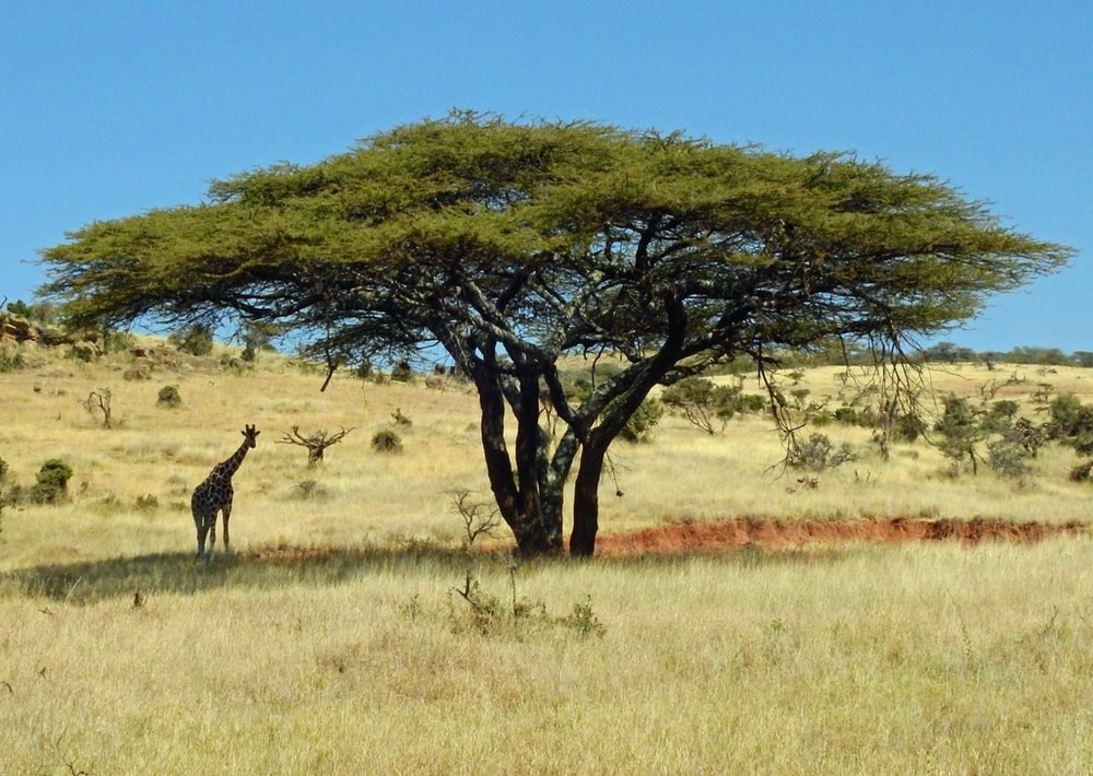 Acacia Tree Pictures Download Free Images On Unsplash