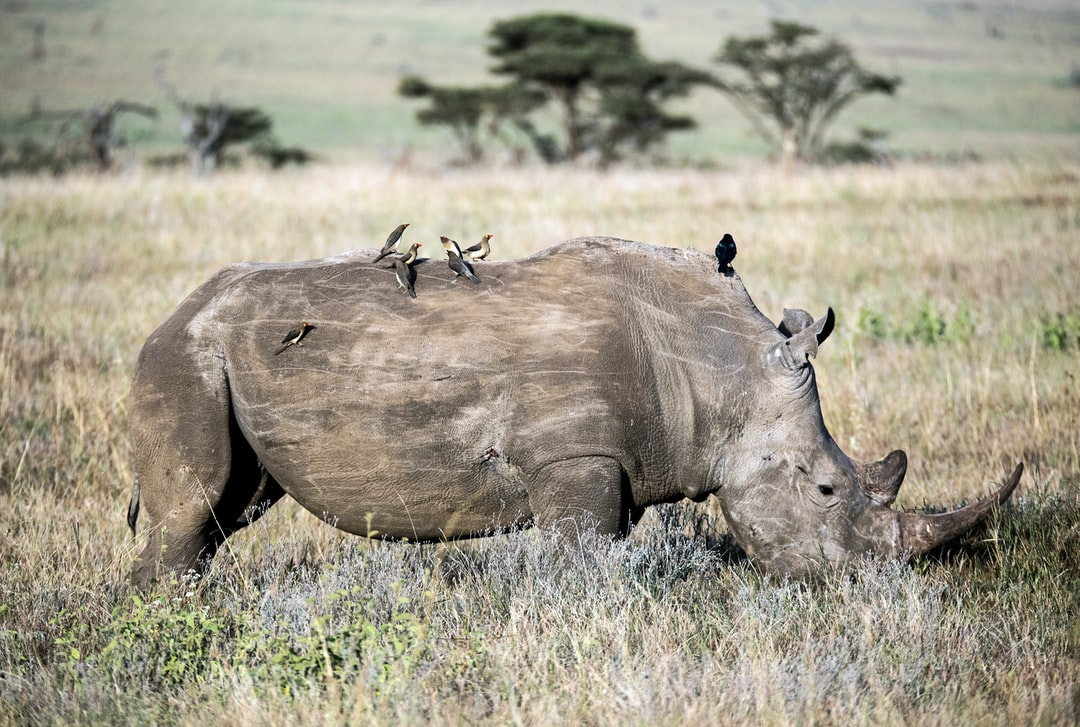 Oxpeckers and a starling on a white rhino in Kenya.