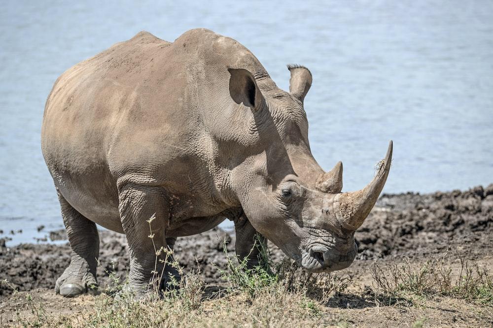 rhinoceros near body of water