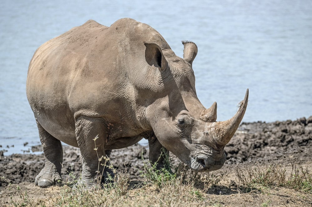 African Rhino Pictures   Download Free Images on Unsplash