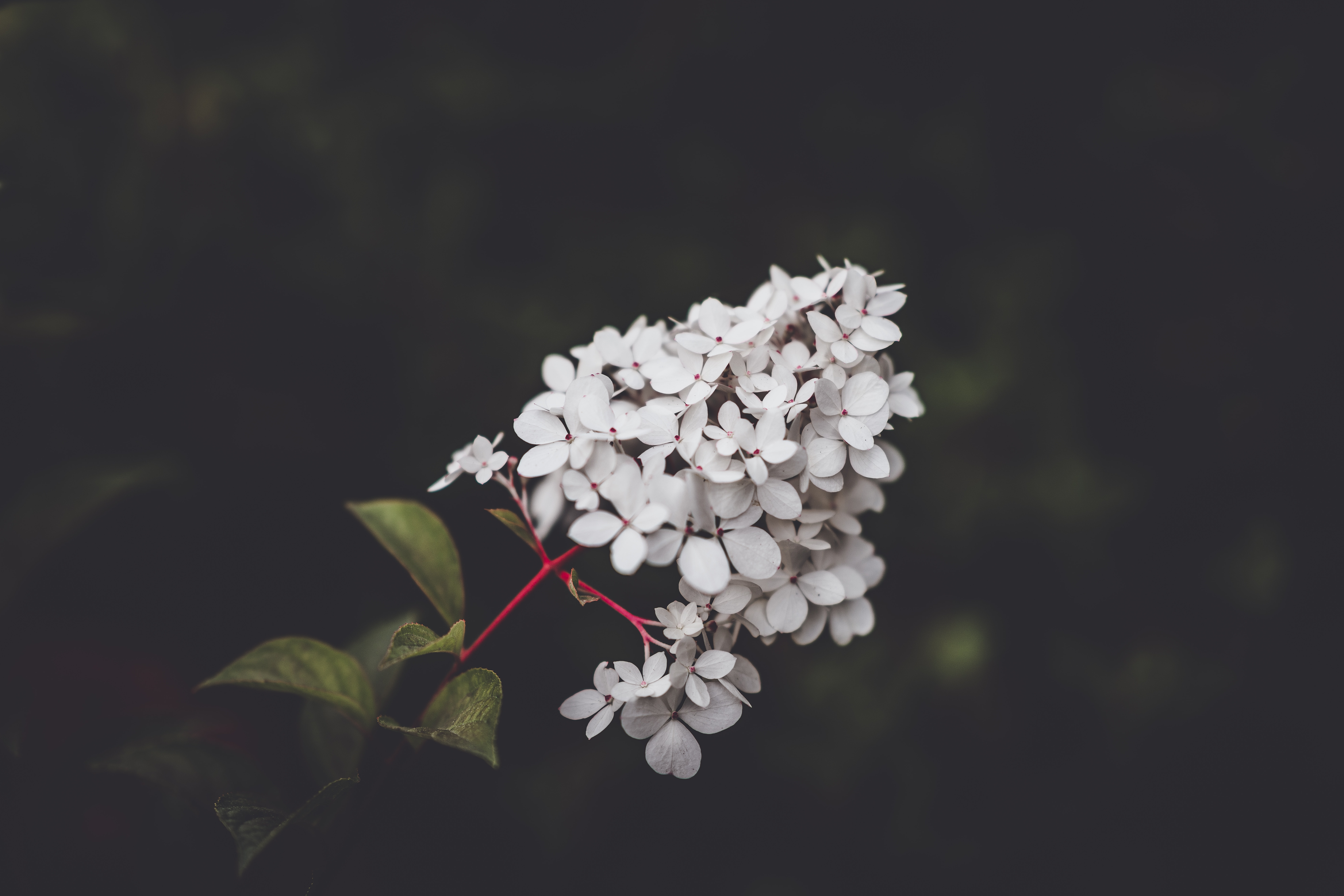 selective focus photography of white hydrangeas flowers