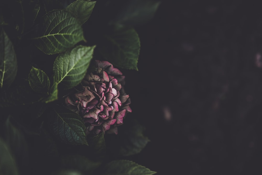 selective focus photography of pink hydrangea flower