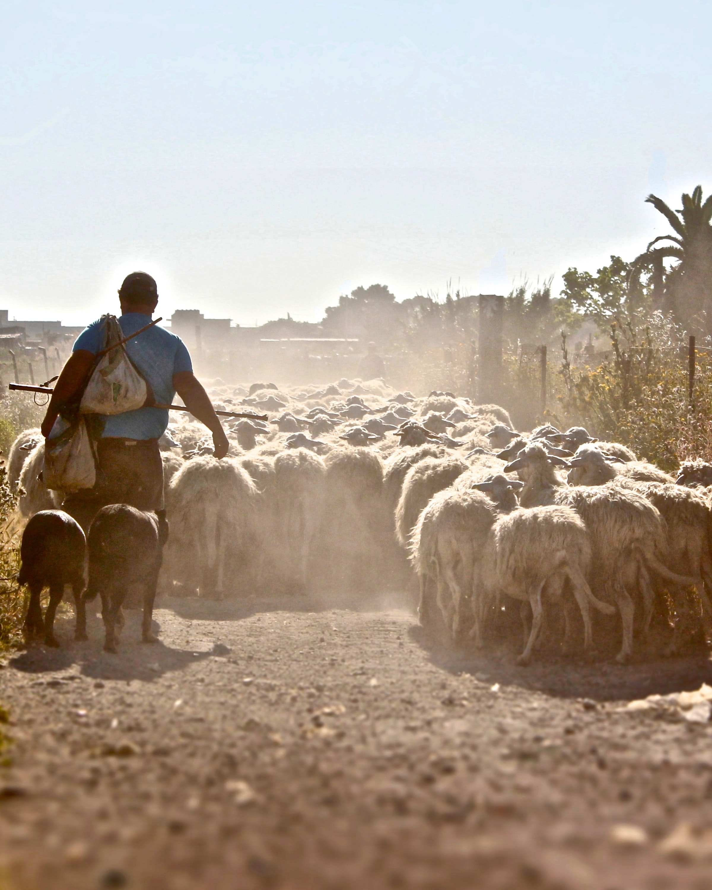 man standing at the sheeps
