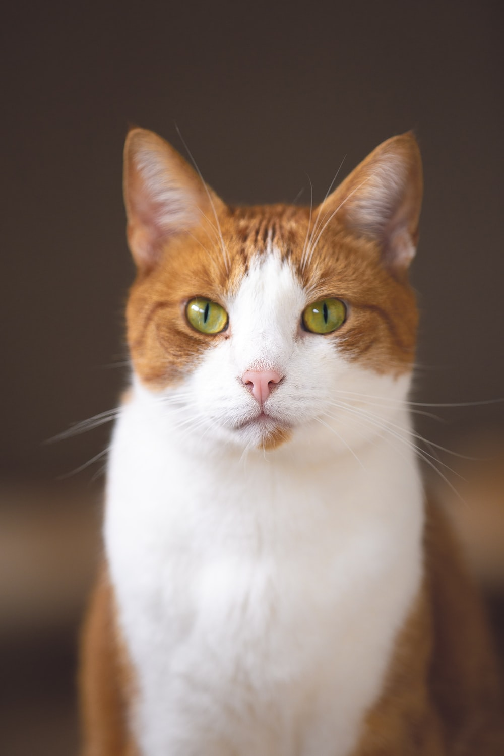 short-haired white and brown cat
