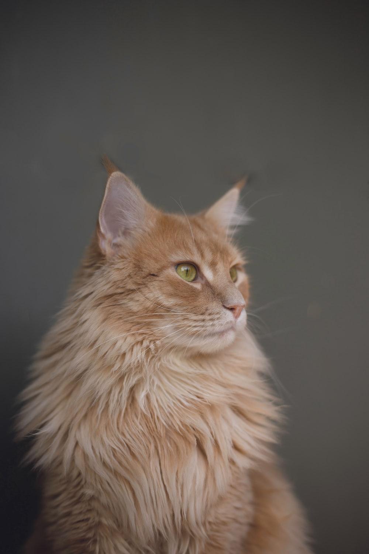 sitting orange Persian cat