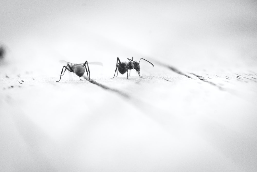grayscale photography of ants