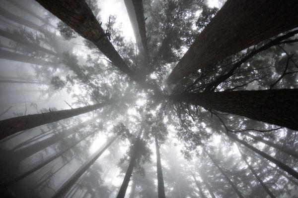 trees with fog from below by @randytarampi, unsplash