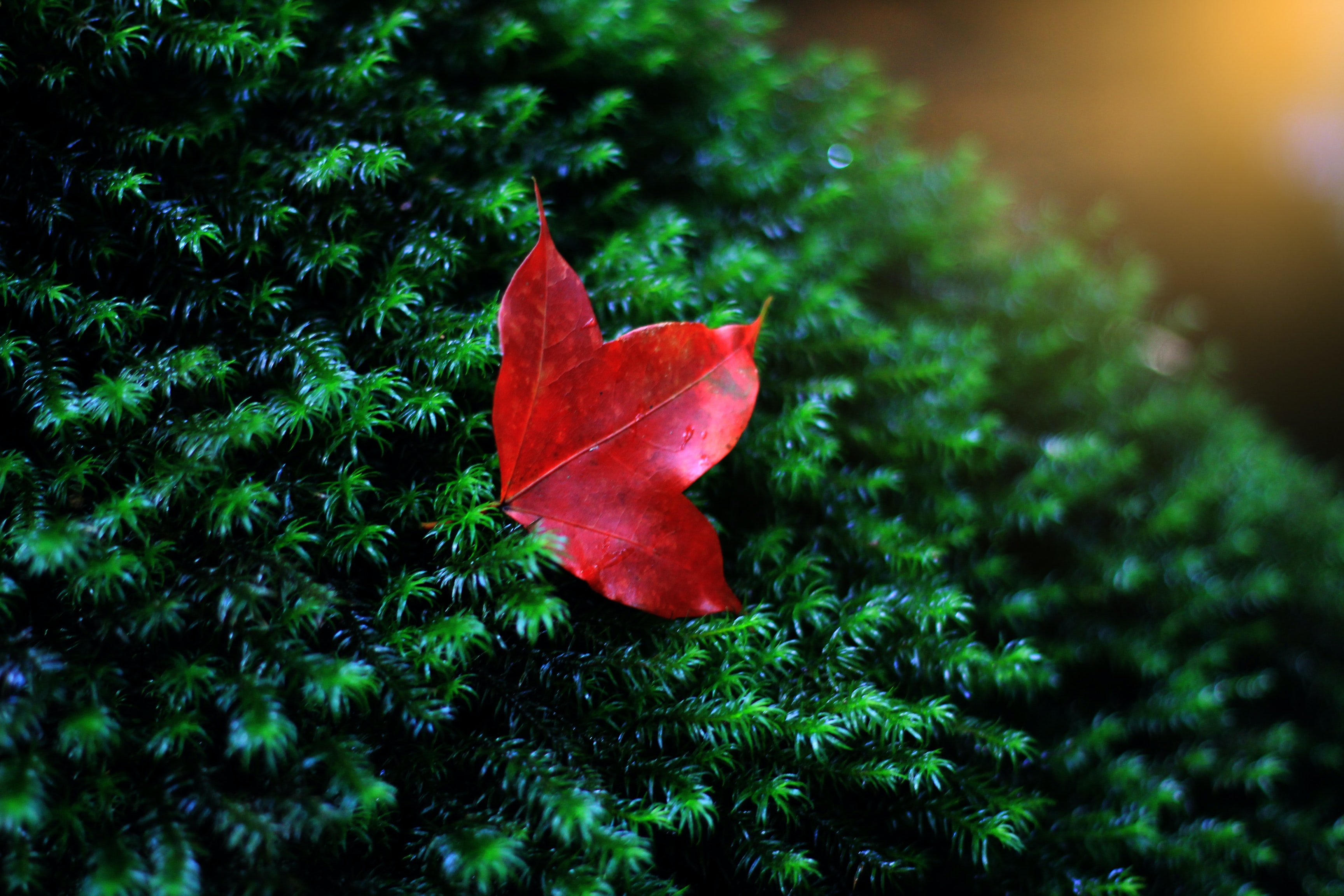 red leaf in shallow photo