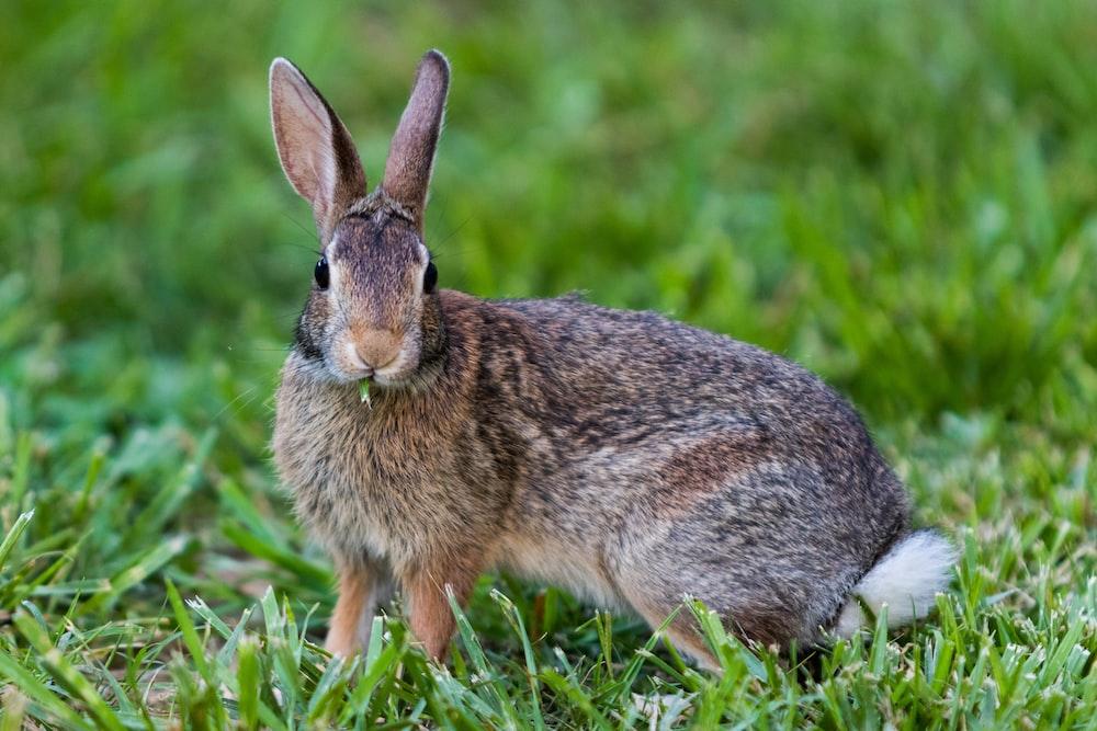brown rabbit on green field