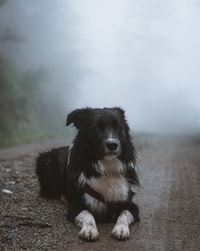 short-coated black and white dog lying in middle of road covered in mist