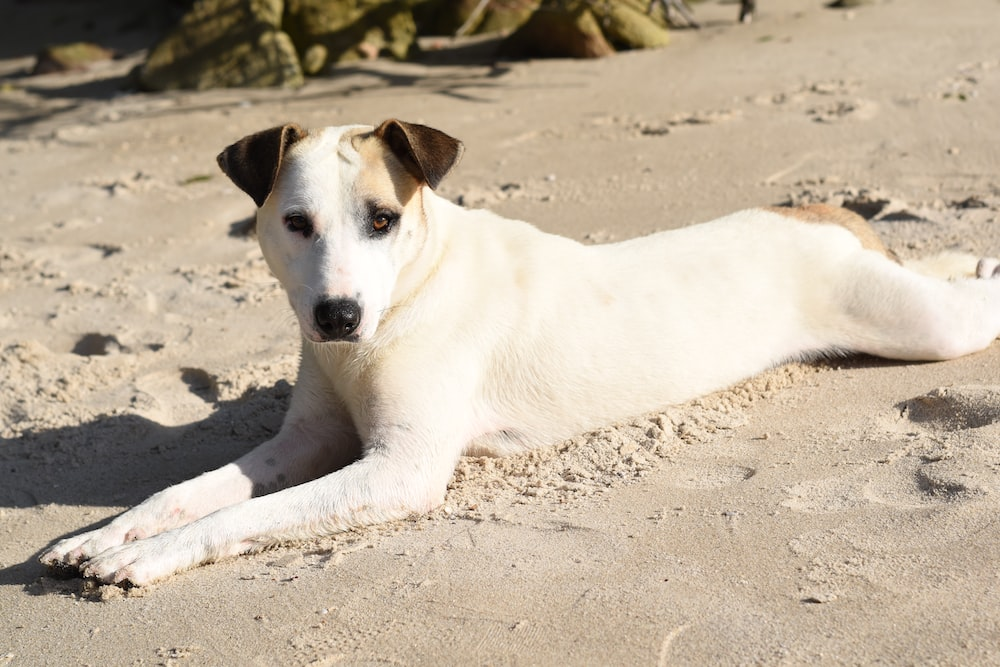short-coated white and tan dog lying on gray sand