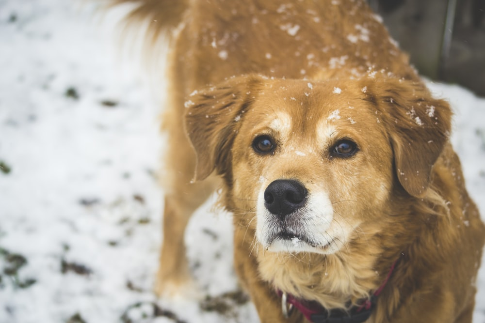 large long-coated tan dog walking on snow