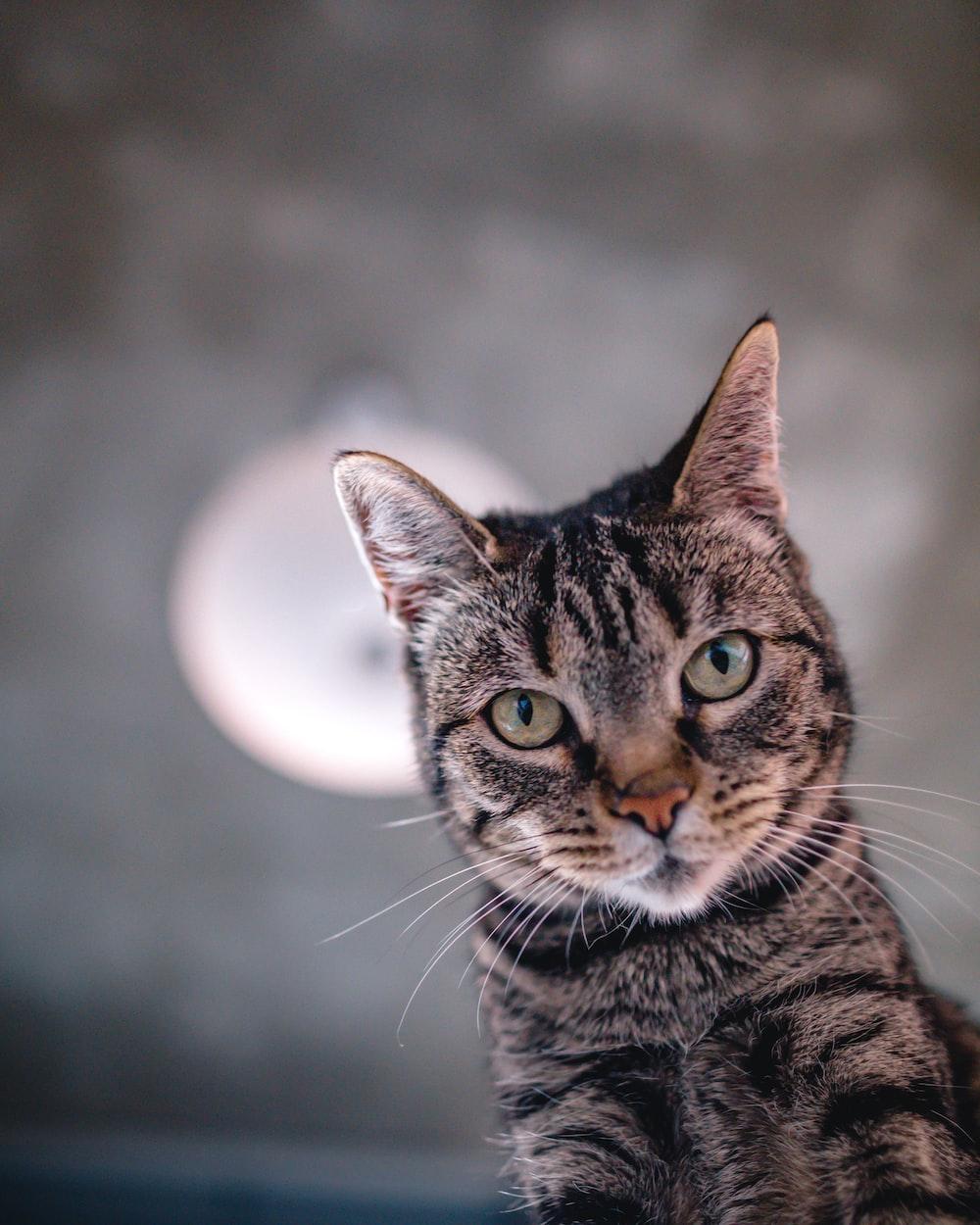 brown tabby cat looking up