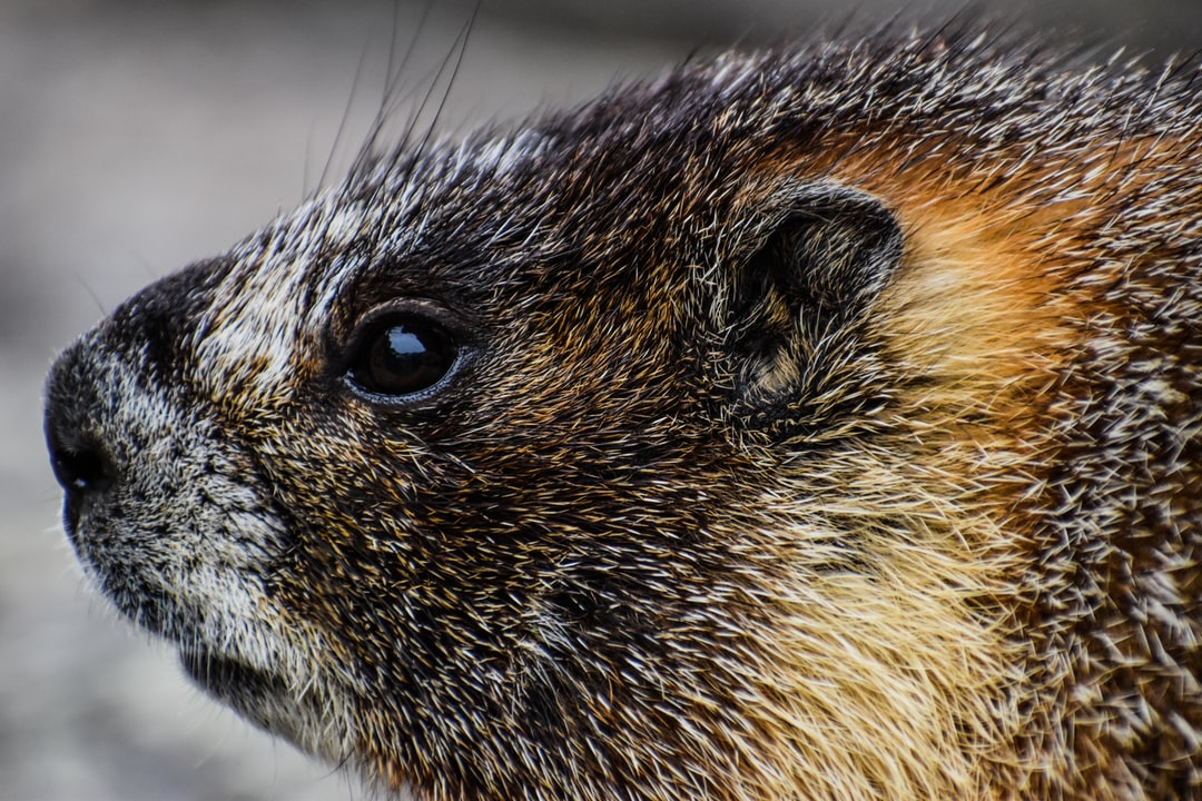 """Known as a Marmot, this little beast was found near 12,000ft elevation on a mountain known as """"Flat Top"""" in the Estes Park region of the Rocky Mountains.  www.Studio51Film.com Instagram @sturgeon_imagery"""