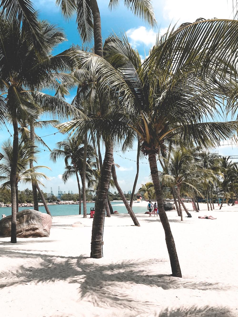 coconut tress on sand