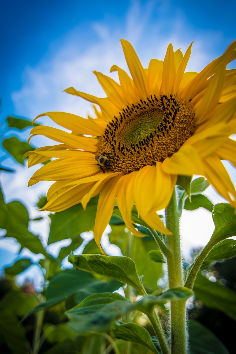 worm's-eye view of yellow sunflower
