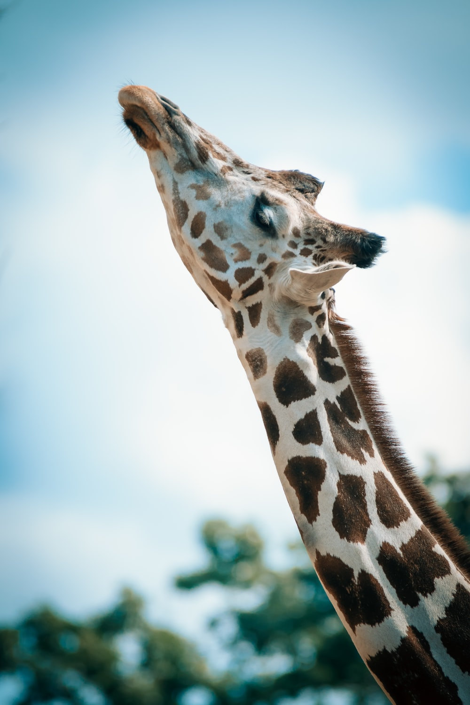 Image result for images giraffe