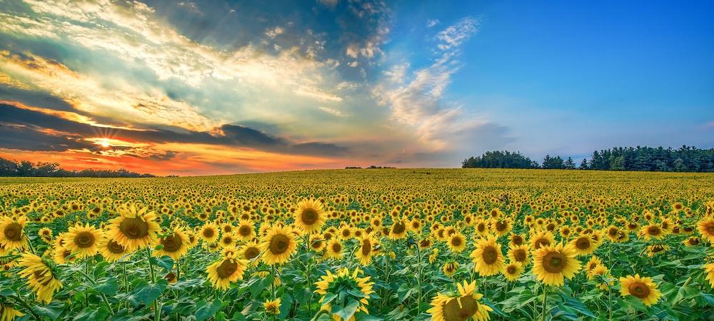 yellow sunflower lot