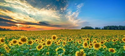 yellow sunflower lot sunflower teams background