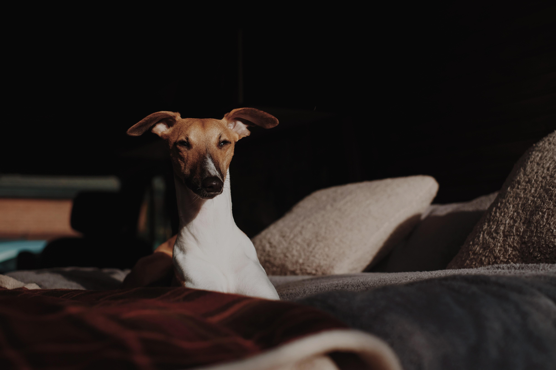 white dog lying on bed
