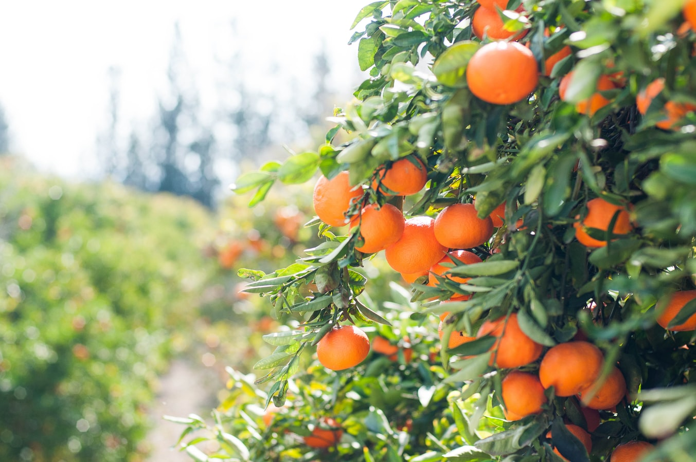Citrus Farmers Facing Deadly Bacteria Turn to Antibiotics, Alarming Health Officials