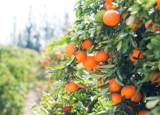 orange fruit tree