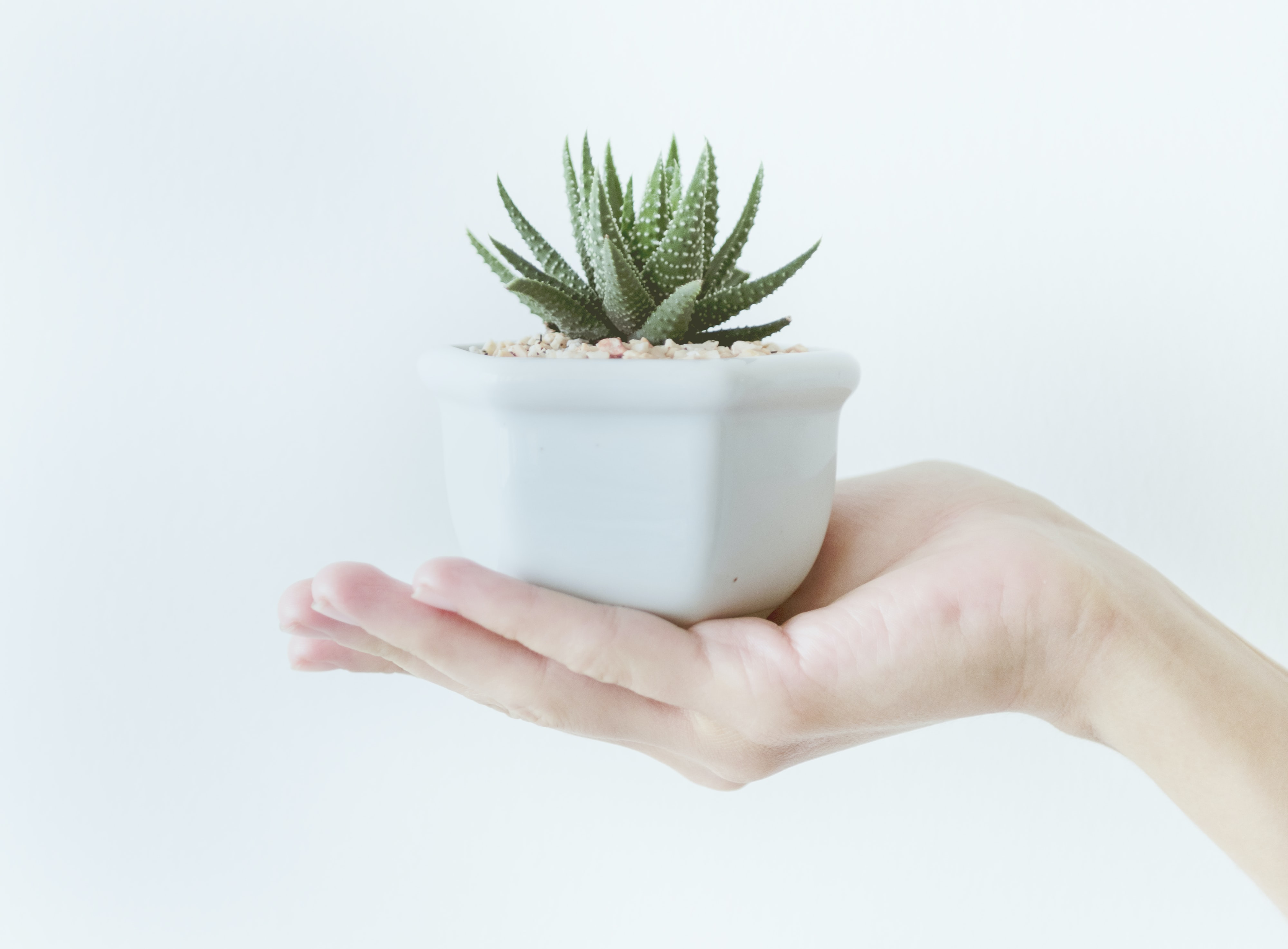 person holding potted succulent plant