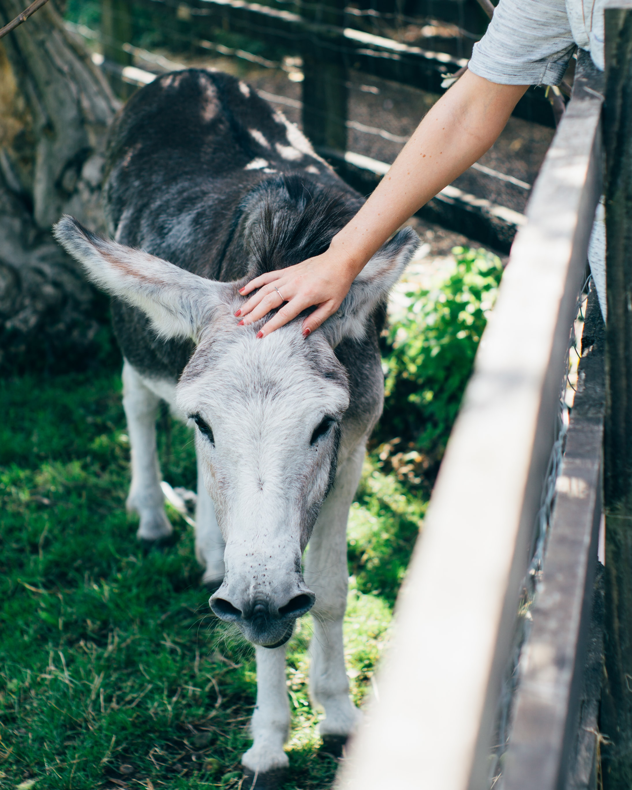 gray horse petted