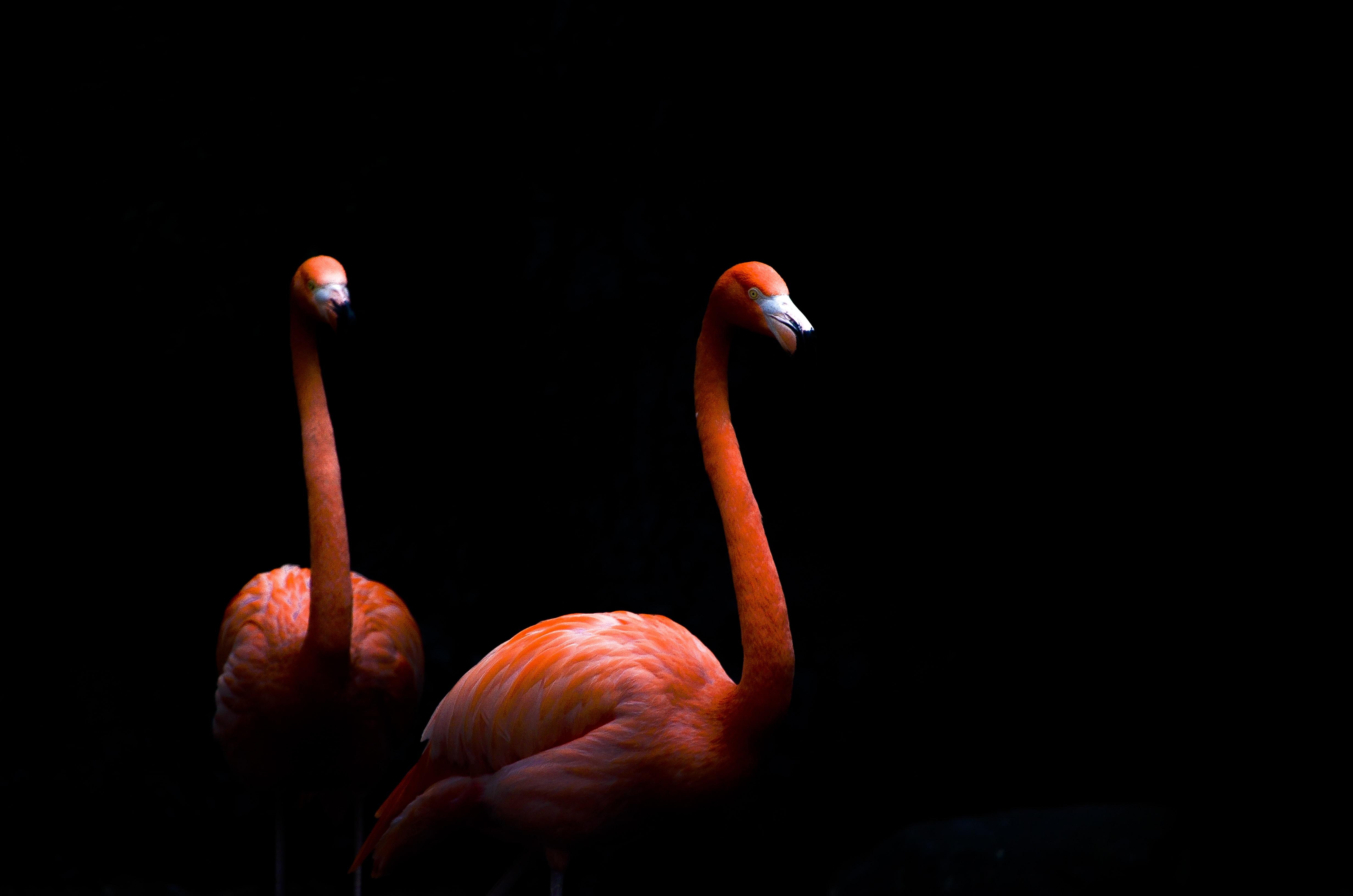 two pink flamingos