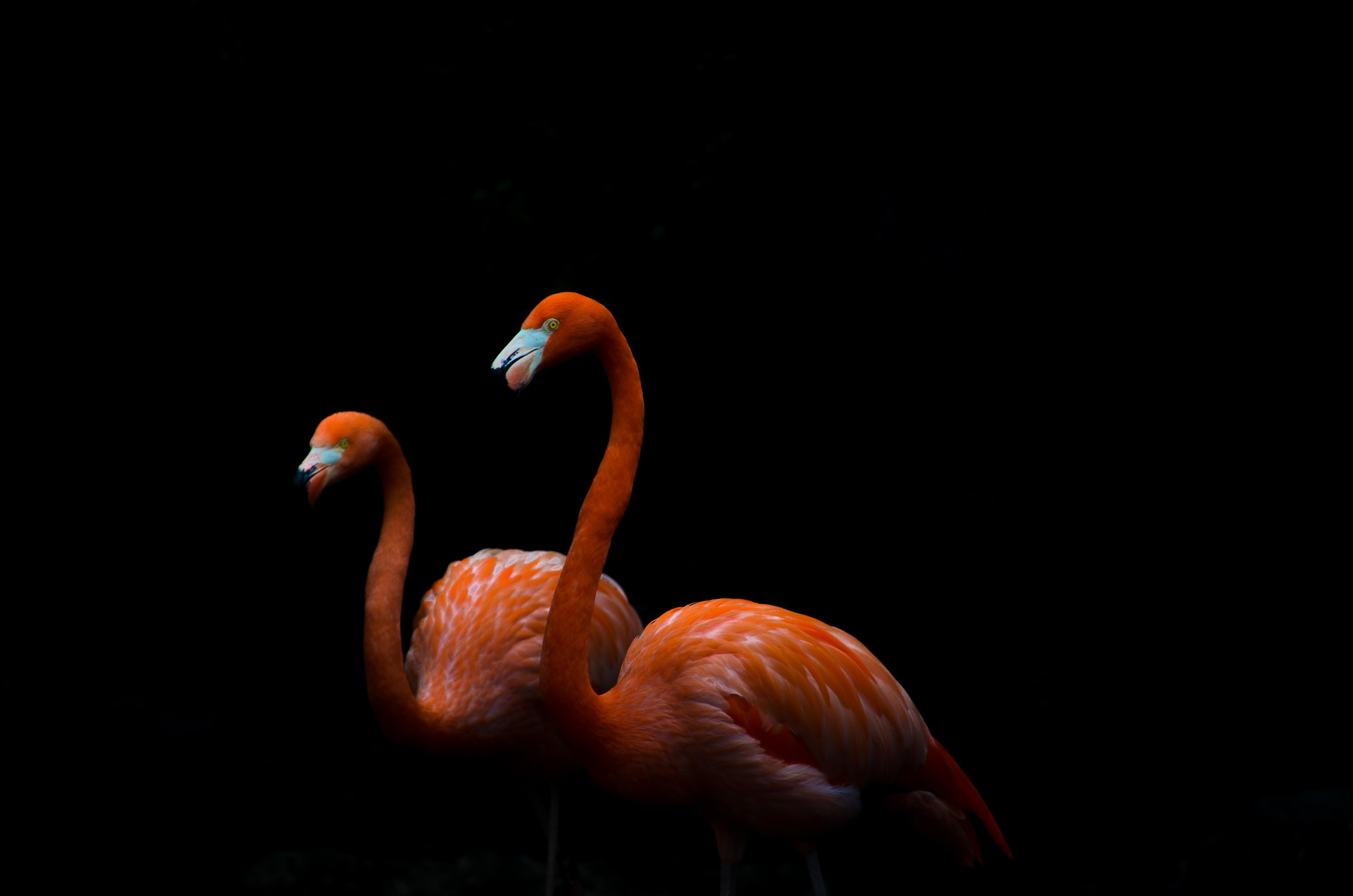 two orange flamingo birds in dark room