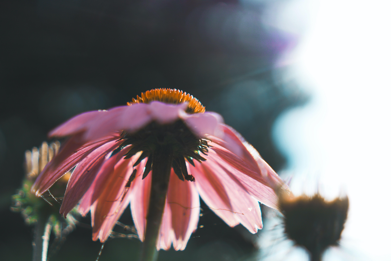 pink daisy flower