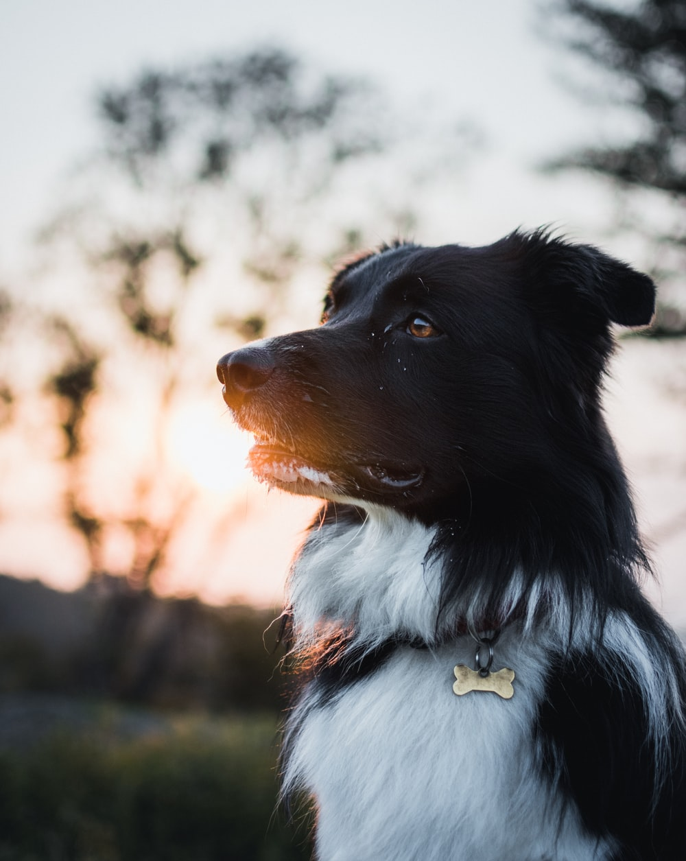selective focus photography of white and black border collie