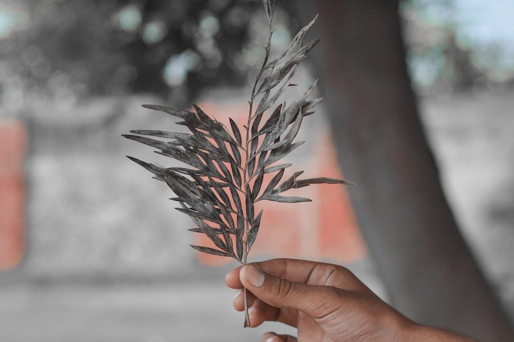 person holding black leaves in tilt shift lens photography