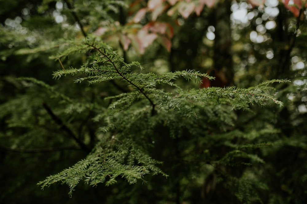 green pine plant