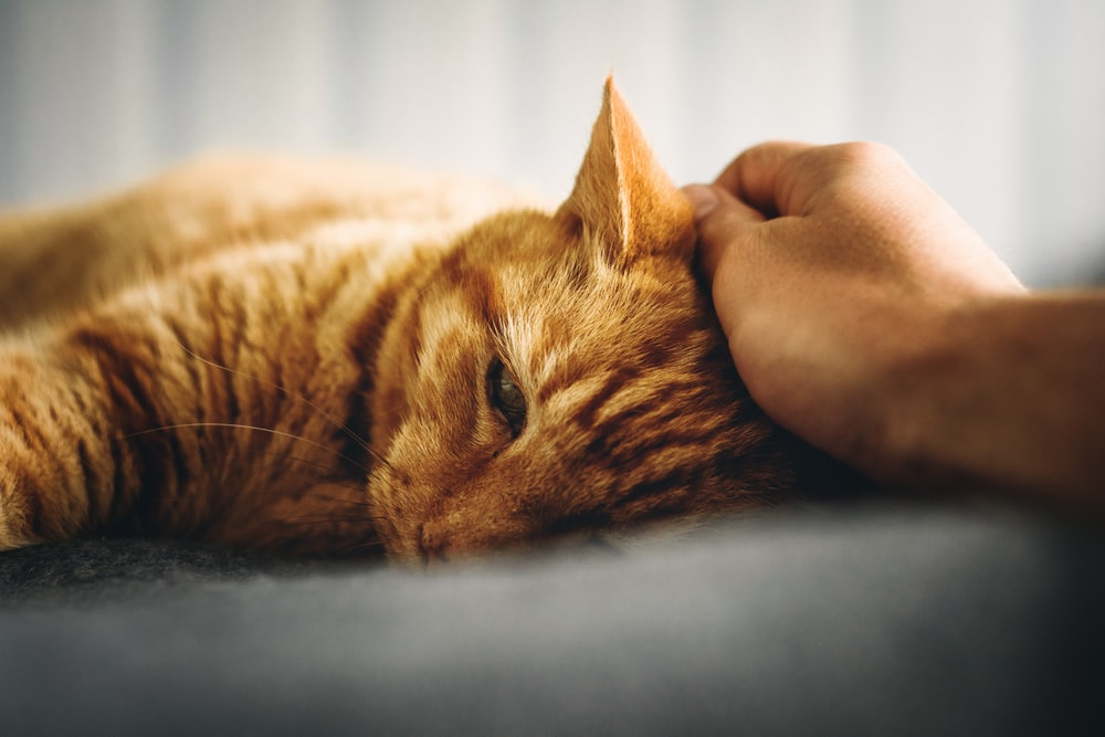 person holding orange tabby cat's head