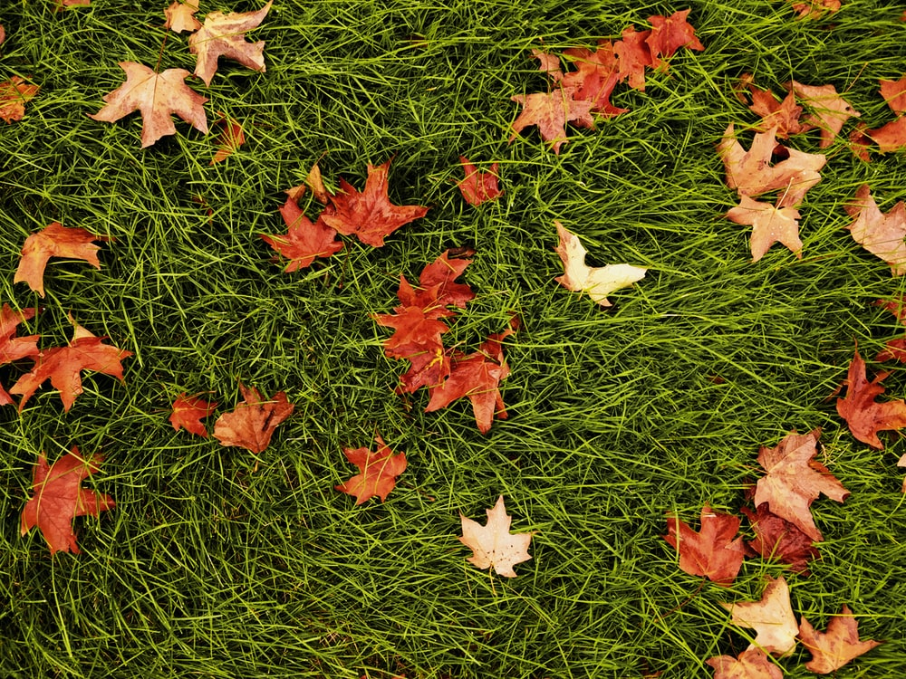 dried maple leaves on grass