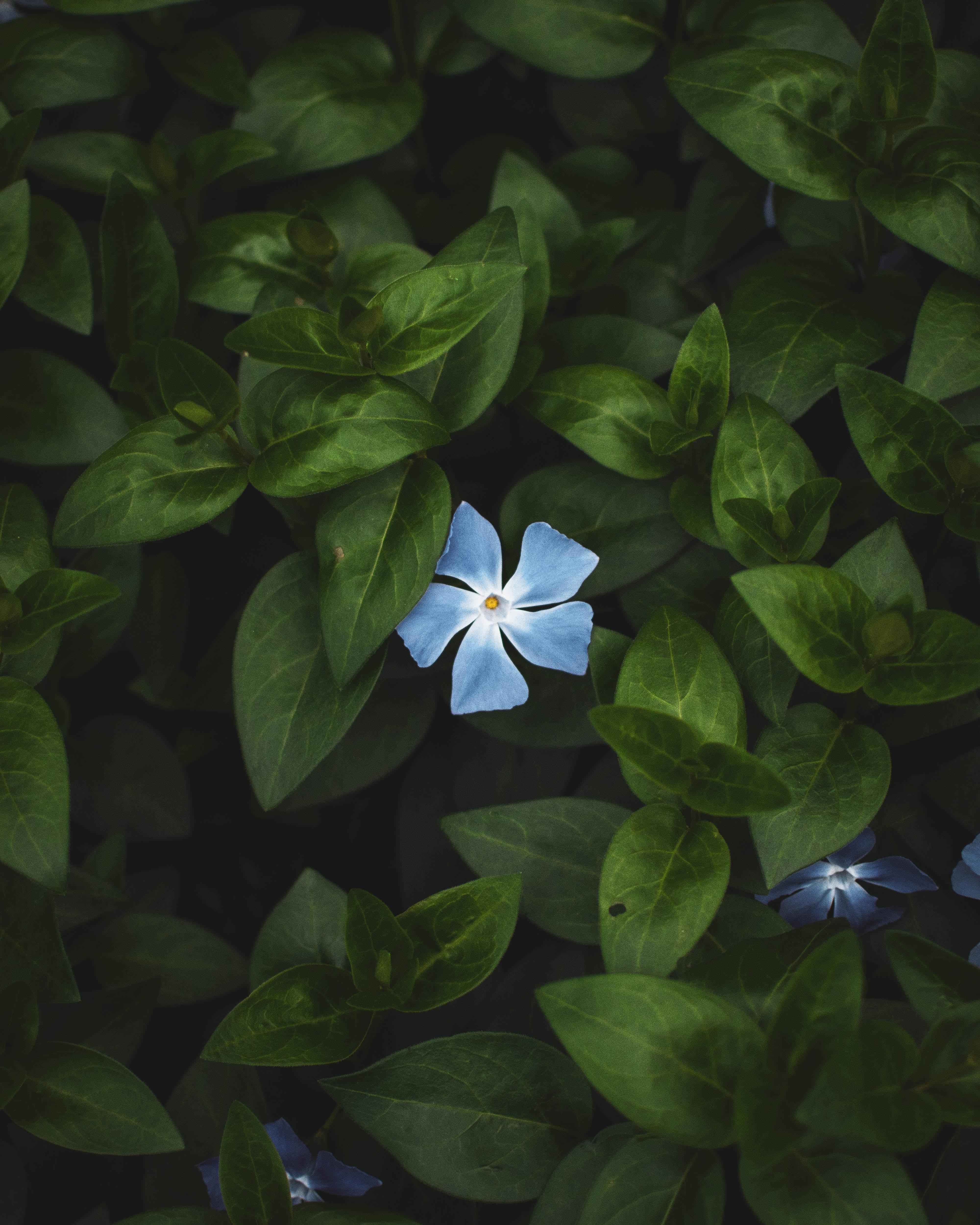 selective focus photography of blue Vinca rosea flower